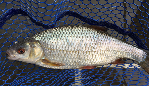 A roach from Shardlow Marina