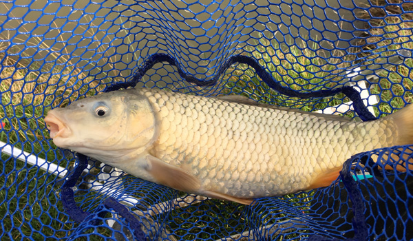 A carp from Phoebe's Fishery