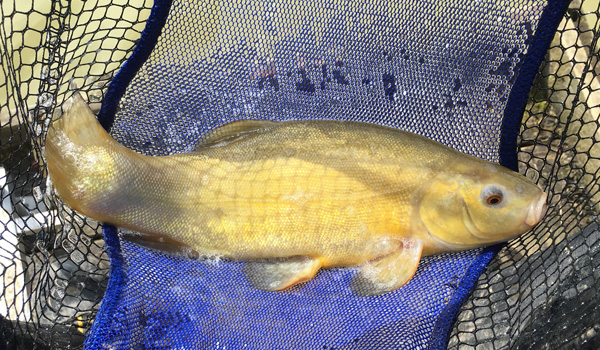 A tench from Oak Tree Lane