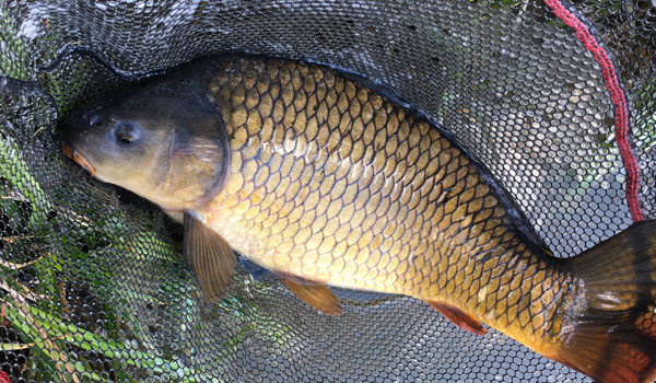 A carp from Yew Tree Ponds